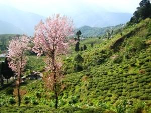 Darjeeling Teefelder in Indien bei Bhutan Sikkim Reisen