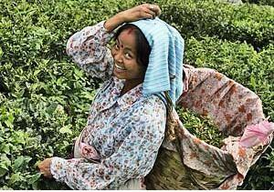Teepflückerin in Darjeeling bei Bhutan Sikkim Reisen