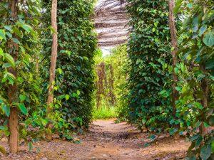 Pfefferplantage bei Kampot