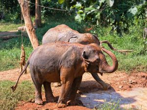 Schlammbad im Elephant Conservation Center in Laos