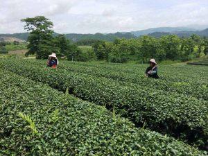 Teeplantage bei Doi Mae Salong