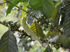 Kaffeeplantage auf dem Bolaven Plateau