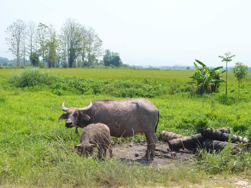 Die Reisfelder werden mit Büffeln gepflügt