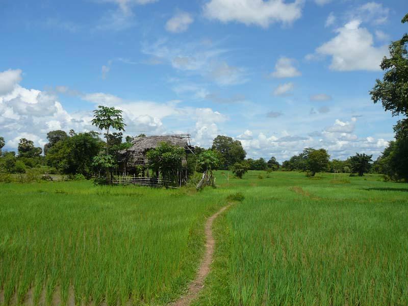 Typisch Laos - strahlend grüne Reisfelder