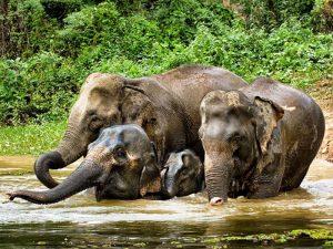 Badende Elefanten im Center bei Luang Prabang