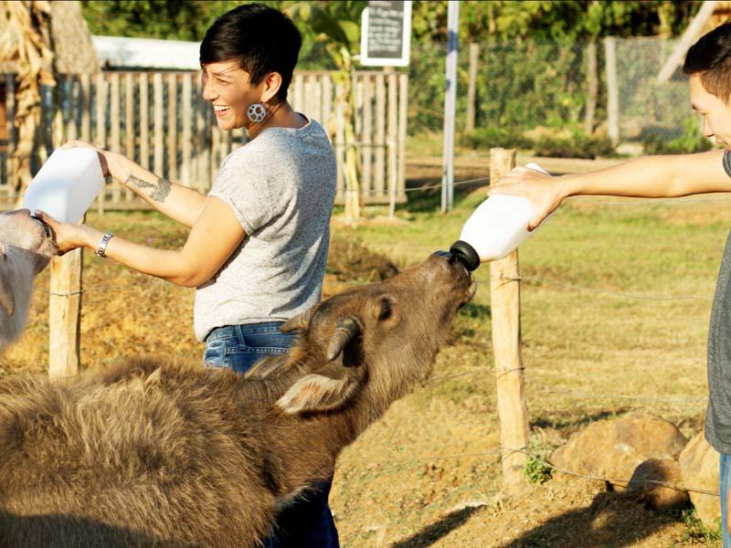 In der Buffalo Dairy Farm können Sie selbst kleine Büffel füttern