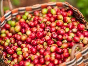 Kaffeebohnen vom Bolaven Plateau