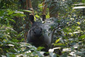Ein Nashorn im Chitwan National Park