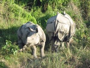 Kulturreise Nepal: Nashörner im Chitwan Nationalpark