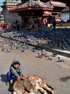 Junge streichelt Kalb auf dem Durbar Square