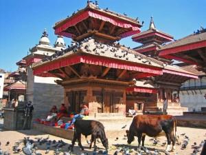 Kühe auf Durbar Square in Kathmandu