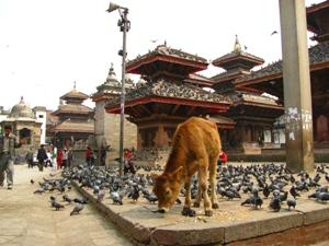 Kalb bei den Tempeln von Kathmandu