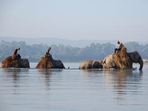 Arbeitselefanten im Rapti Fluss