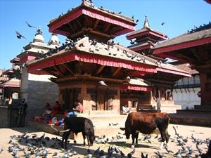 Heilige Kühe auf dem Durbar Square