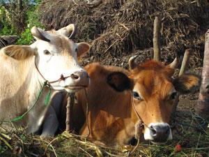 Kühe in Nepal