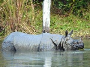 Nashorn im Fluss im Chitwan Nationalpark während 2 Wochen Nepal