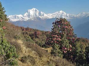 Rhododendren vor einer Bergkulisse im Annapurna