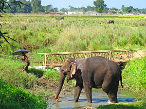 india nepal chitwan olifant