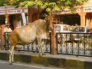 india koe straat