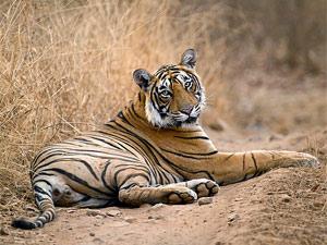 Ranthambore India tijger