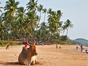 zuid india koe strand
