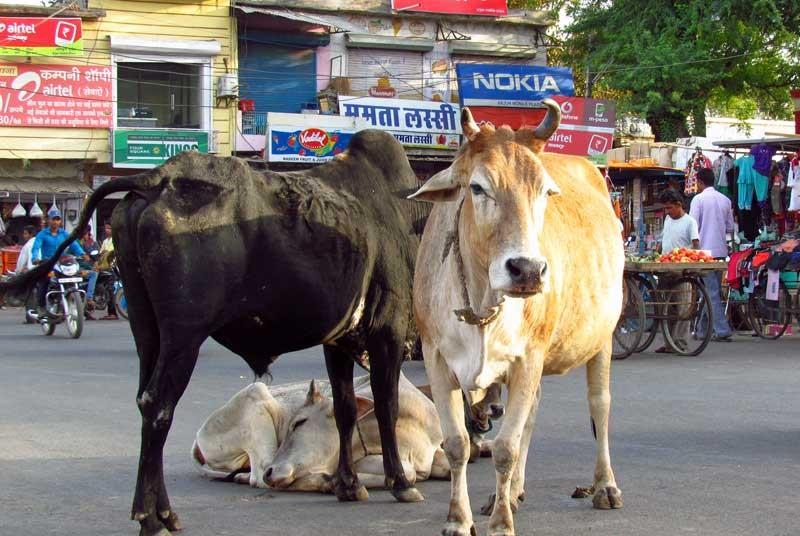 Vakantie India - koeien op de weg