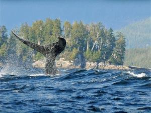 walvis spotten ucluelet
