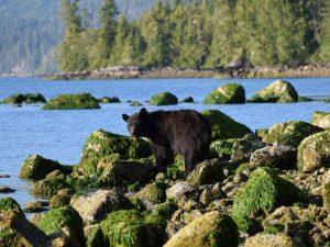 Canada beren vancouver island