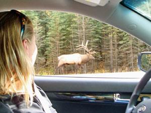 Rocky Mountains Canada eland