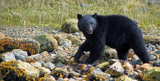 Canada familiereis - zwarte beer