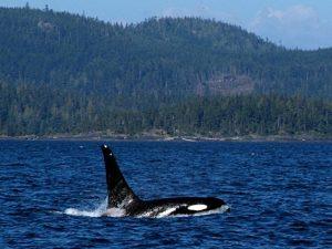 Canada orka's vancouver island
