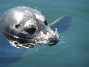 Canada zeehond fjordenkust