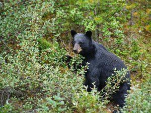 Canada Jasper zwarte beer