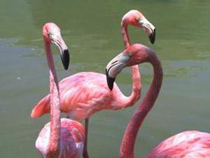Bahia de Nuevitas, roze flamingo's