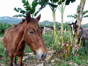 vinales-paarden