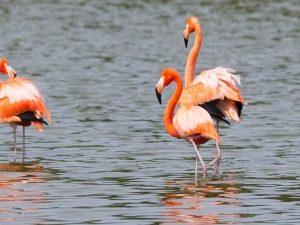 american-flamingo-flamingo-cuba
