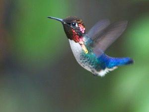 bee-Hummingbird-kolibrie-bijkolibrie