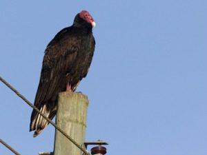 kalkoengier-vogel-cuba