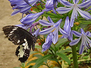 highlands vlinder bloem maleisie