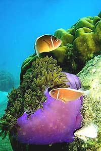 maleisie perhentian koraal
