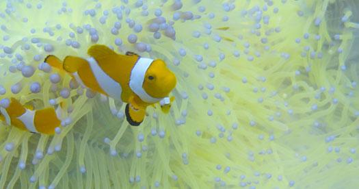 Maleisie vakantie - Nemo visje