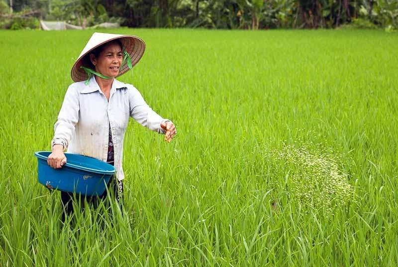 Vietnam vakantie - rijstveld