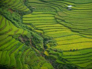 rijstvelden 300x225