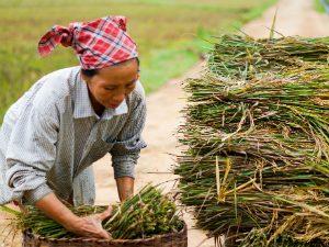 Vietnam rijstvelden Mai Hich