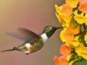 costarica-reis-kolibrie