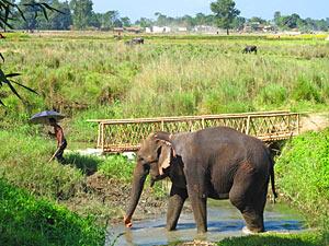 bhutan nepal chitwan olifant