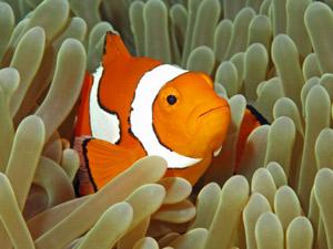 Snorkelen Bali - Nemo Indonesië