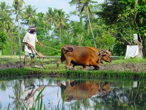 bali oost rijstveld buffel