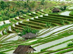 rijstvelden bali ubud