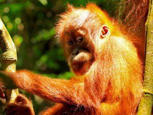 orangutan-sumatra-met-kinderen